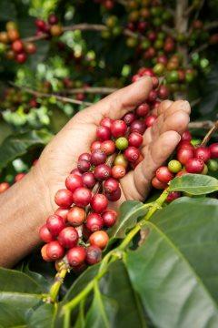 kaffeebohnen-test-ernte