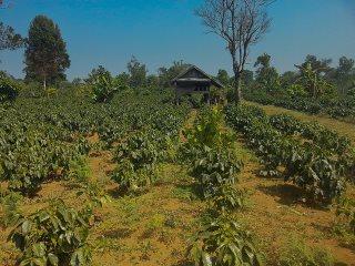 maragogype-kaffee-plantage